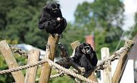 Naming my stadium-gibbons-monkey.jpg